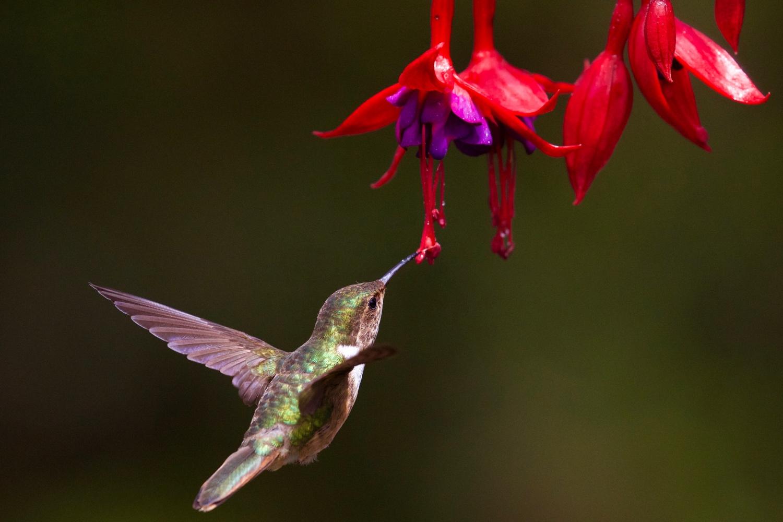 Kolibri und Blumenduft