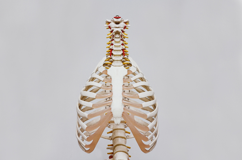 Skelettkörper Brustkorb