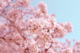 cherry blossom raumduft aromea