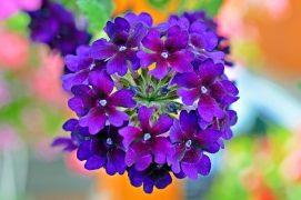 Verbena Pflanze