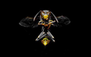 Frontalaufnahme einer Wespe